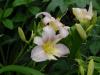 Hemerocallis 'Catherine Woodbury'