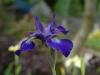Iris sibirica 'Victorias Secret'