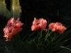 Papaver orientale 'Forcett Summer'