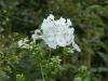 Phlox paniculata \'David\'