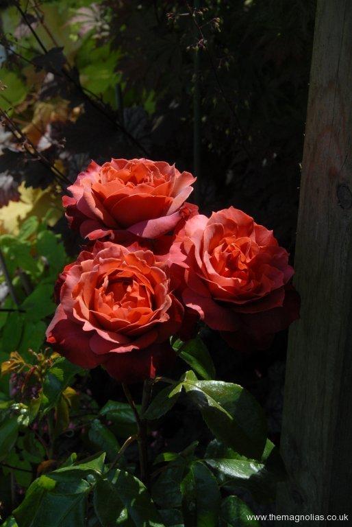 Rosa 'Hot Chocolate'