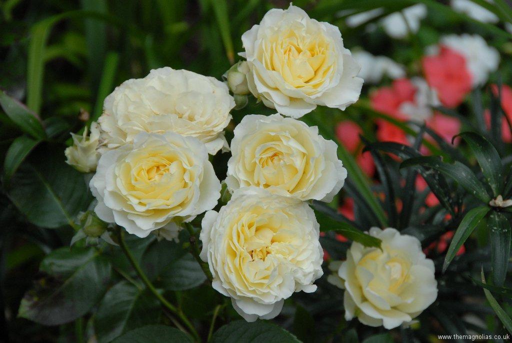 Rosa cv.