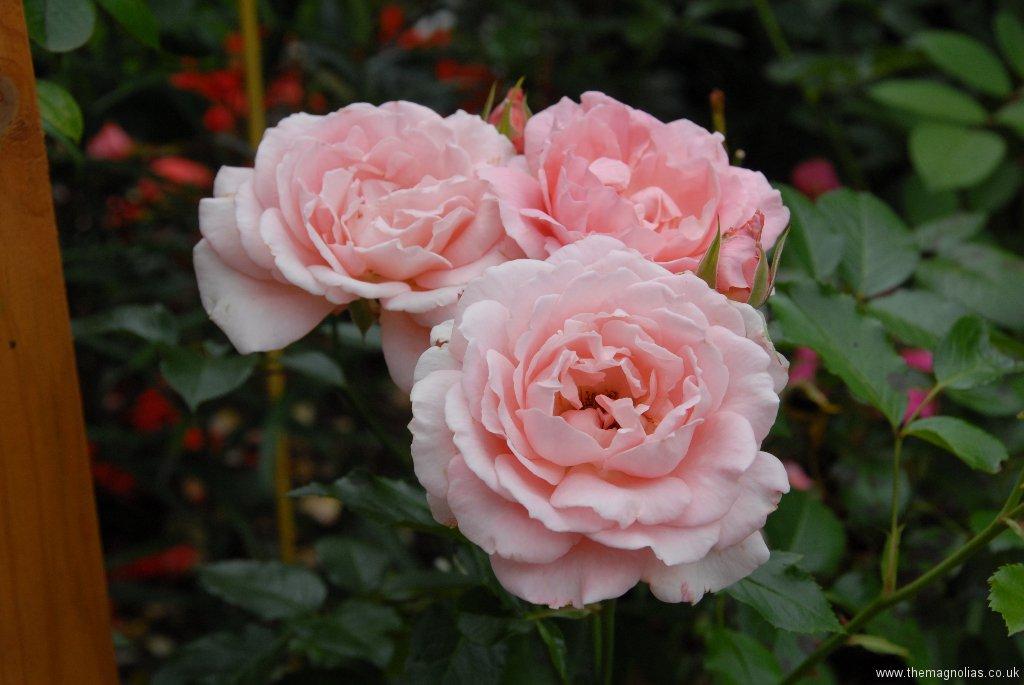 Rosa 'Abraham Derby'