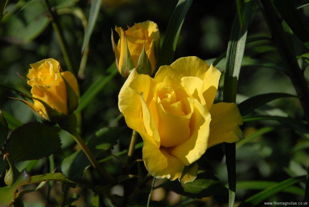Rosa 'Korresia'