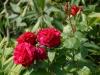 Rosa 'Parfum de Cardinal'