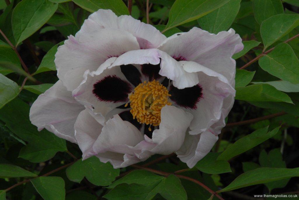 Paeonia rockii with pink flush