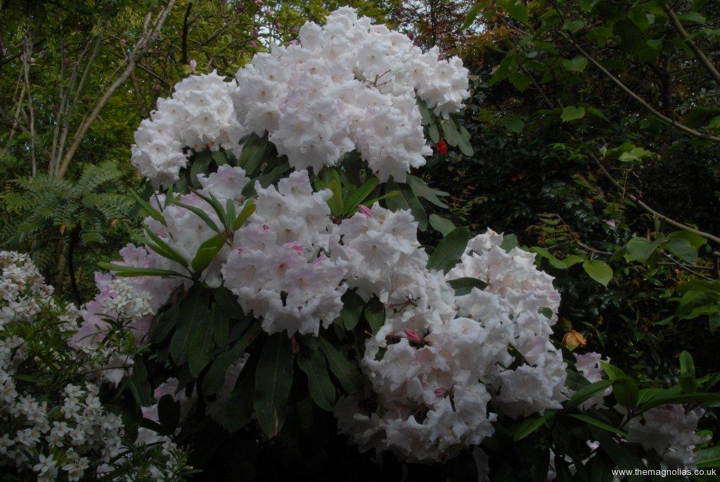 Rhododendron x loderi cv.