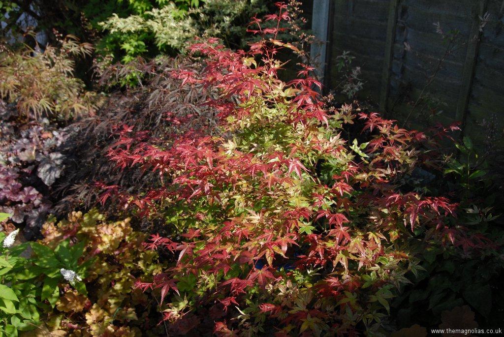 Acer palmatum 'Bene Maiko'