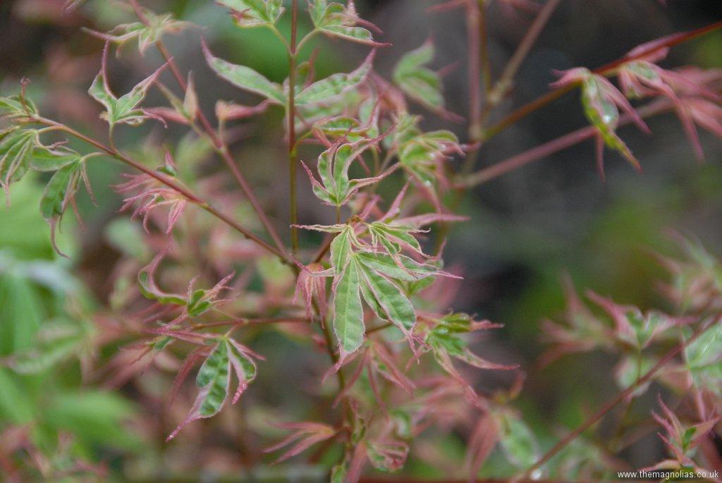 Acer palmatum 'Beni Schichihenge'