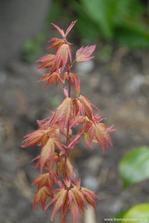 Acer palmatum 'Green Glory' - spring foliage
