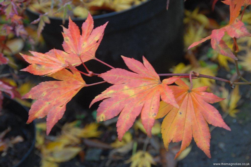 Acer palmatum 'Omurayama' autumn colour