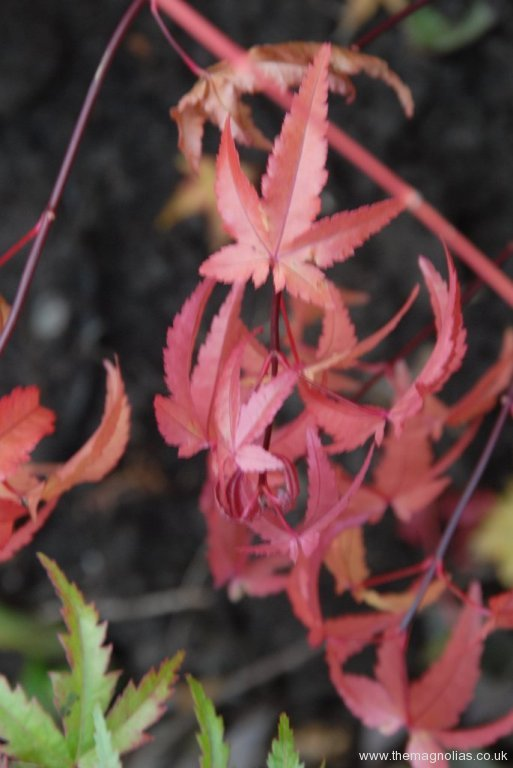 Acer palmatum 'Red Wine' autumn colour