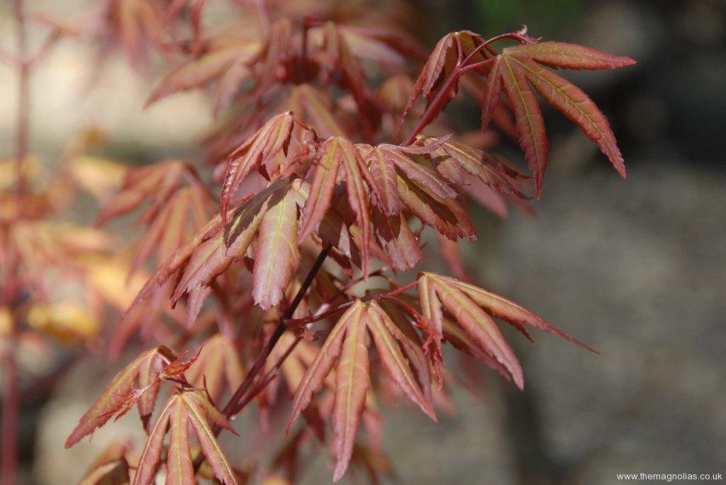 Acer palmatum 'Redwine' - spring