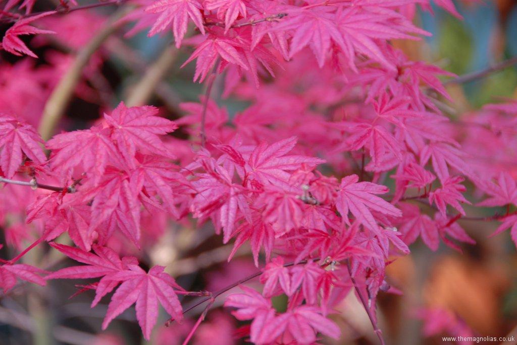 Acer palmatum 'Shindi Shojo'