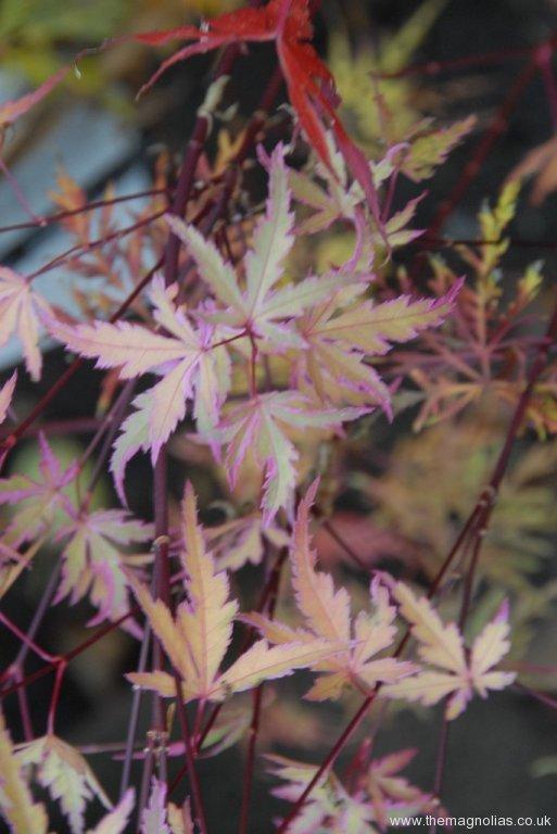 Acer palmatum 'Taylor' autumn colour