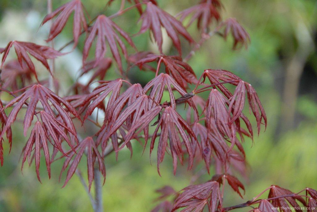 Acer palmatum 'Trompenberg'