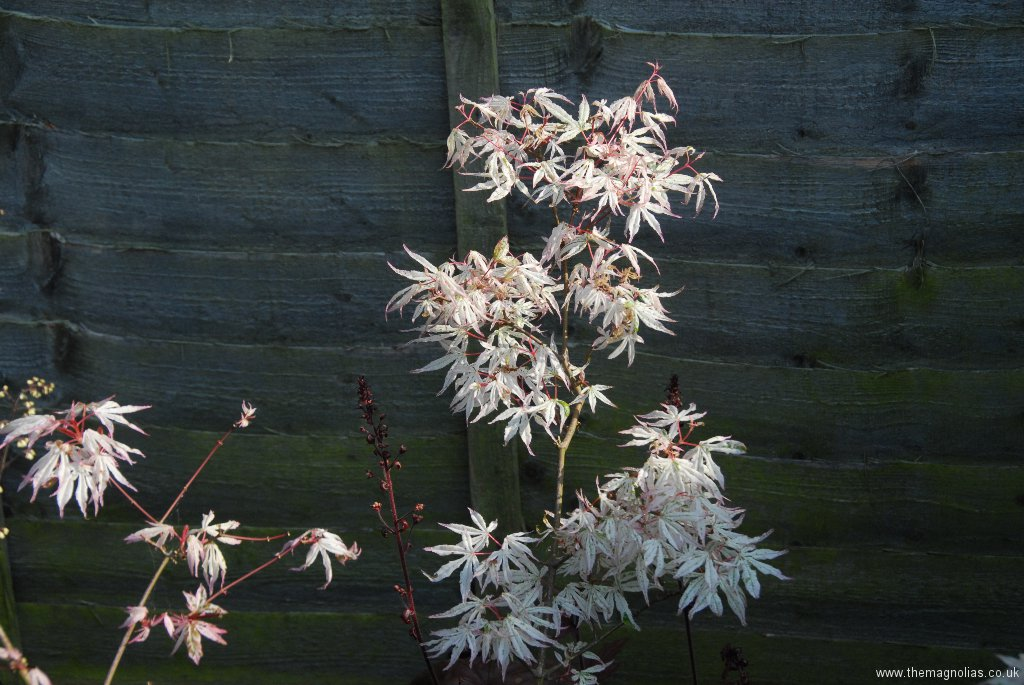 Acer palmatum 'Ukigomo'