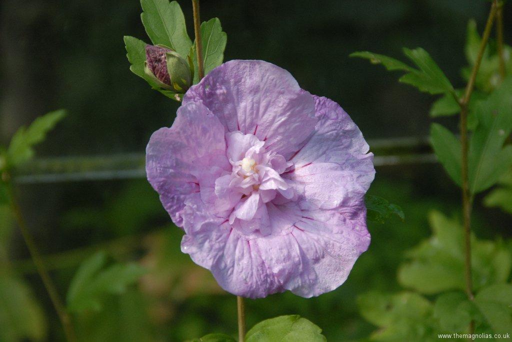 Hibiscus syriacus  \'Lavender Shiffon\'