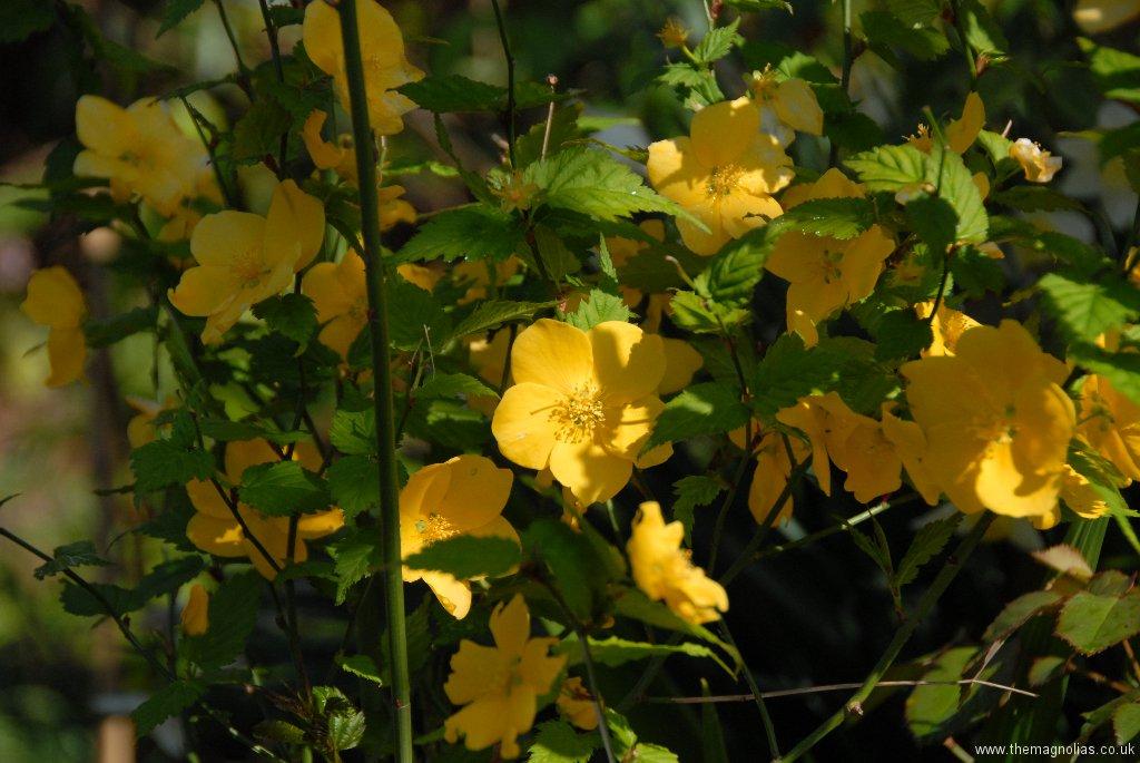 Kerria -japonica \'Golden Guinea\'