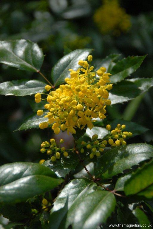 mahonia-aquifolium \'Apollo\'