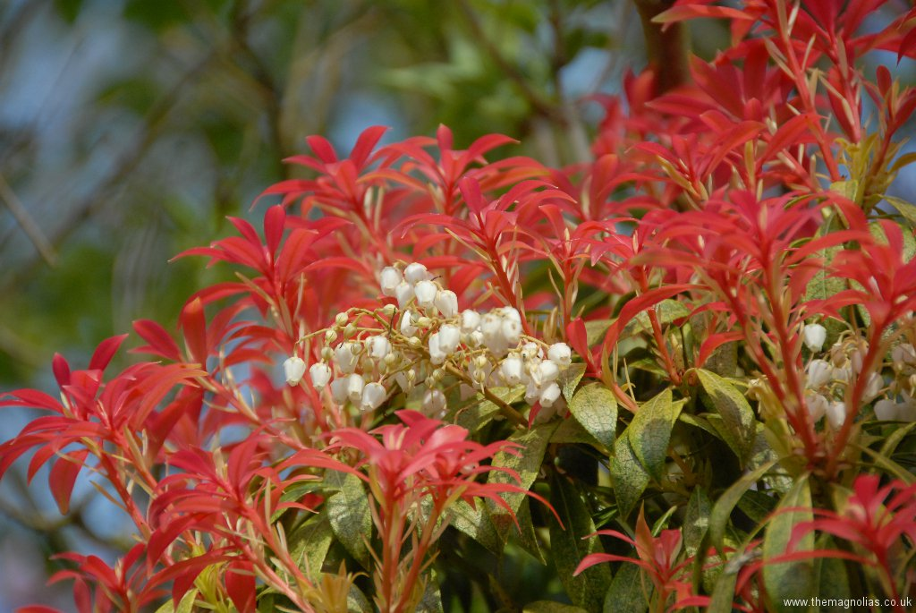 Pieris \'Forest Flame\'