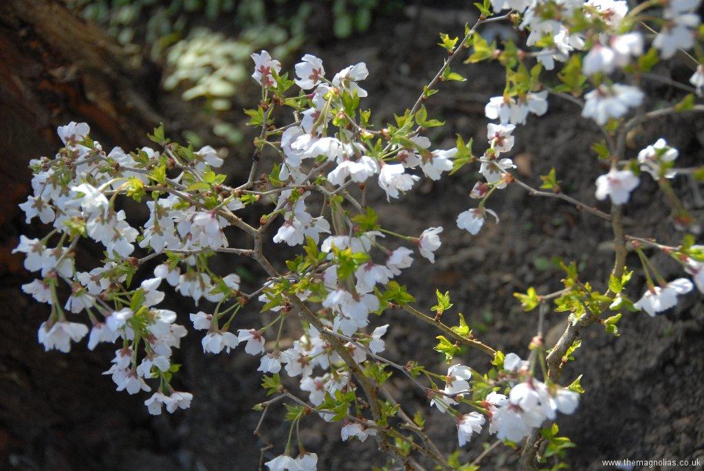 Prunus incisa \'Kojo-no-mai\'