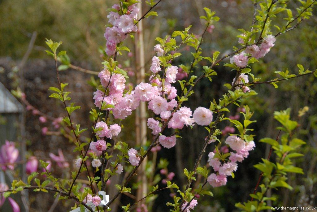 Prunus triloba \'Multiplex\'