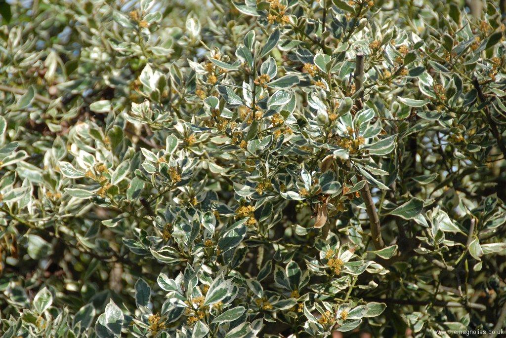 Rhamnus alaternus \'Argenteovariegata\'