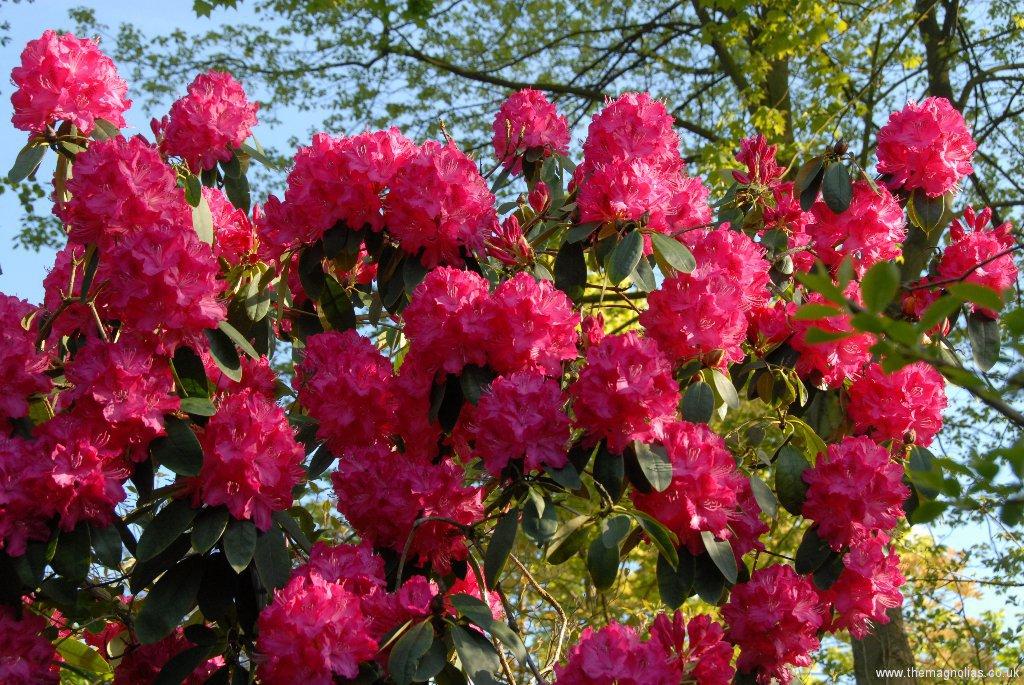 Rhododendron \'Cynthia\'