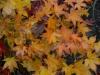 Acer palmatum 'Satsuka Beni' autumn colour