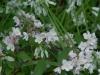 Deutzia kalmiaflora with Alium triquetum