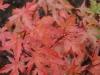 Acer palmatum 'Coral Pink' autumn colour