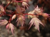 Acer palmatum 'Coral Pink - spring