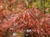 Acer palmatum 'Cripsii' - spring foliage