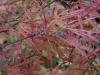 Acer palmatum 'Cripsii' autumn colour