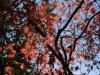 Acer palmatum heptalobum  'Elegans Purpureum'
