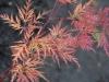 Acer-palmatum 'Emerald Lace' autumn colour
