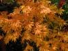 Acer palmatum 'Heptalobum Elegans' autumn colour