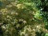 Acer palmatum heptalobum  'Elegans'