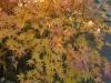 Acer Palmatum 'Orange 'Dream' autumn colour