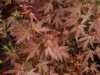 Acer palmatum 'Redwine' - spring foliage