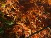 Acer palmatum 'Seiun-Kaku' autumn cokour