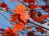 Acer palmatum septemlobum group own seedling