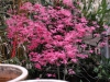 Acer palmatum 'Shinde Shojo'