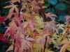Acer palmatum 'Wilson's Pink Dwarf' autumn colour