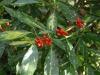 Aucuba japonica \'Picturata\'