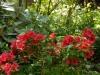Rhododendron (evergreen Azalea) \'Mothers Day\'