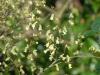 Corylopsis pauciflora