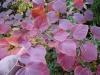 Disanthus cercidifolius\'