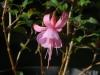 Fuchsia \'Beacon Rosa\'